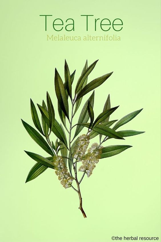 Find Out What Are The Top 7 Melaleuca Oil Benefits On Your